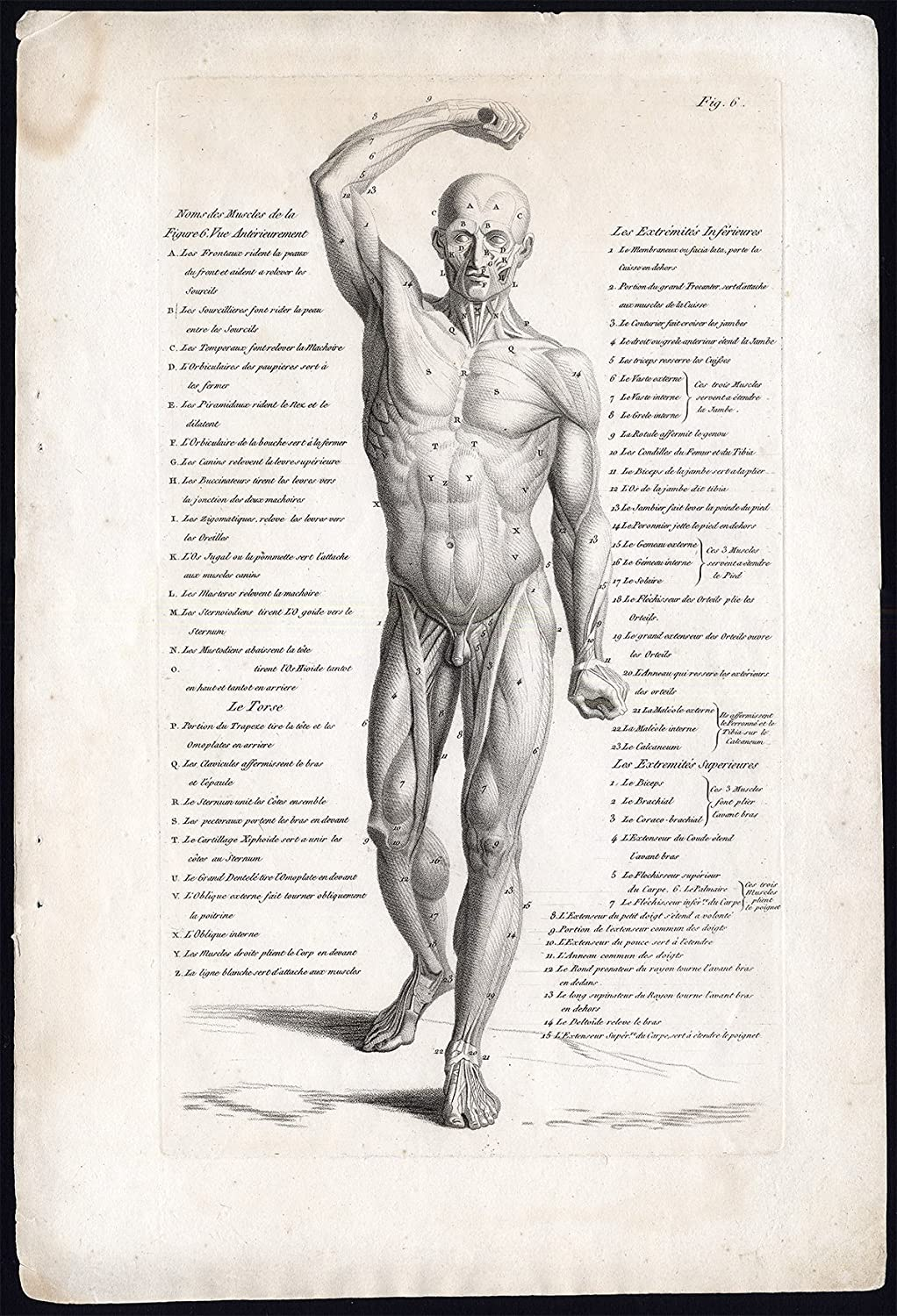 Amazon Antique Print Anatomy Muscles Male Front View Fig 6