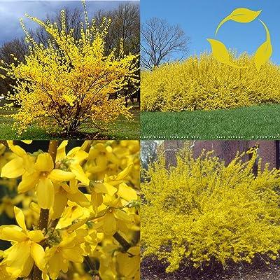 TRIFOLIATE FORSYTHIA Forsythia Suspensa 10 SEEDS : Garden & Outdoor