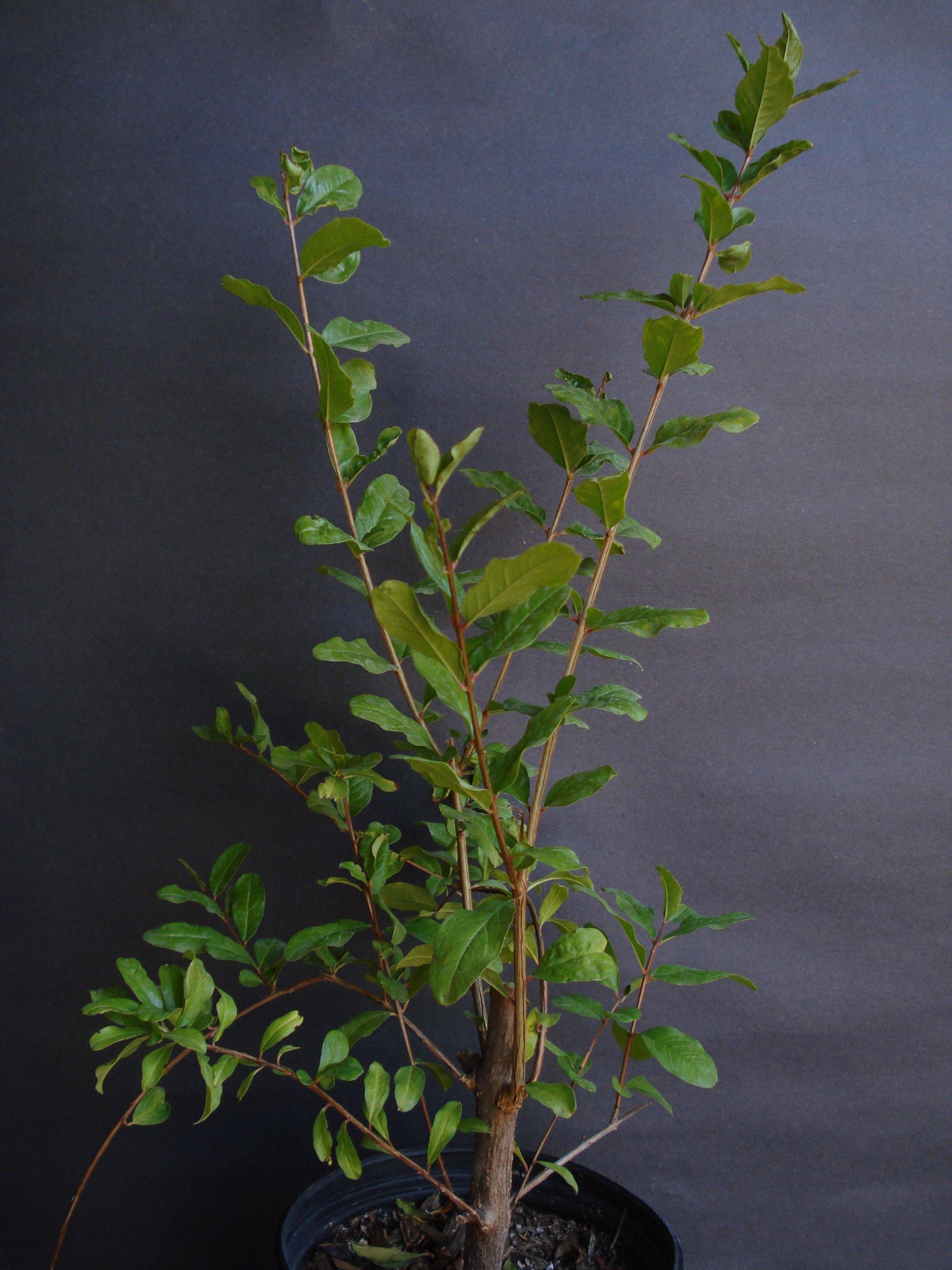 9EzTropical - Pomegranate Utah Sweet Fruit Tree Live Plant - 2 Feet or Taller - Ship in 1 Gal Pot