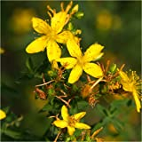 Package of 1,000 Seeds, St. Johns Wort (Hypericum perforatum) Non-GMO Seeds By Seed Needs