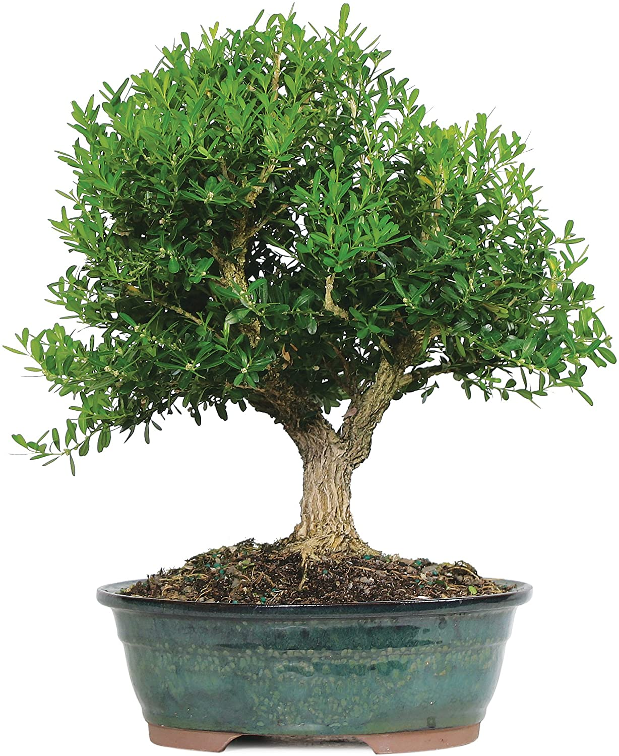 Amazon Com Brussel S Live Harland Boxwood Outdoor Bonsai Tree 8 Years Old 10 To 14 Tall With Decorative Container Garden Outdoor