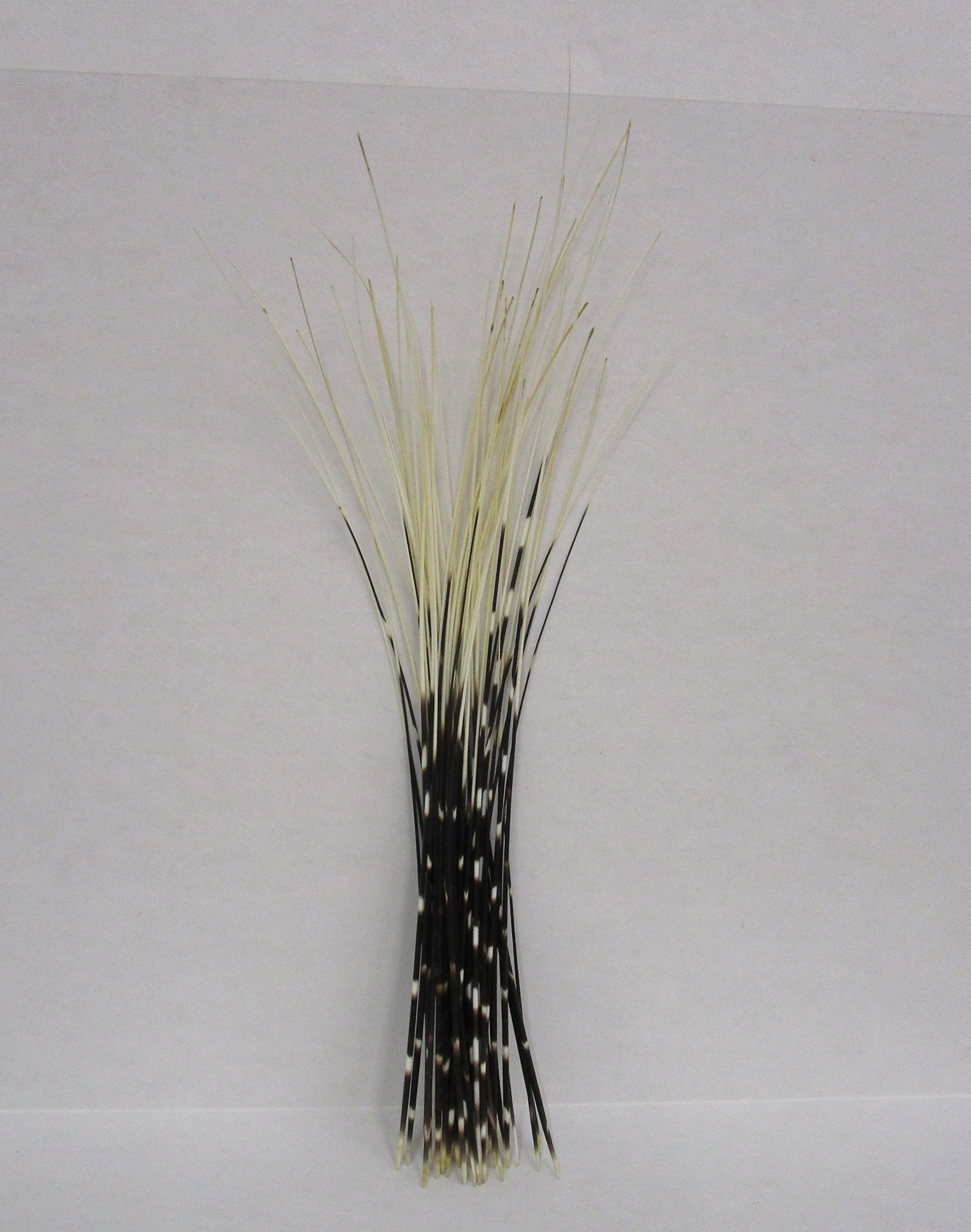 50 pc Thin South African Porcupine quills 18 inch and up by Atlantic Coral Enterprise