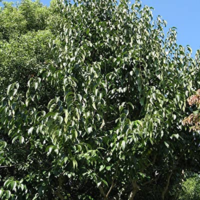 10 Hardy Rubber Tree Eucommia Ulmoides Tree Seeds WL #RR12 : Garden & Outdoor