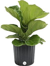 Amazon.com: Live Indoor Plants: Grocery & Gourmet Food: Bonsai ...
