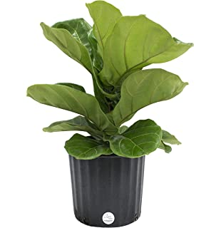 Amazon.com : Hirt\'s Fiddleleaf Fig Tree - Ficus - Great Indoor Tree ...