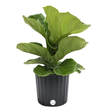 Costa Farms Ficus Lyrata, Fiddle-Leaf Fig, Live Indoor Plant, 2 to 3-Feet Tall, Ships in Grow Pot, Fresh From Our Farm, Excellent Gift
