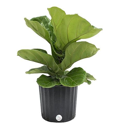 Amazon.com : Costa Farms Premium Live Indoor Ficus Lyrata, Fiddle ...
