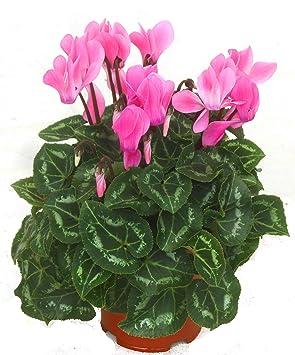 Alpenveilchen Rosa Cyclamen Persicum Zimmerpflanze Bluhend