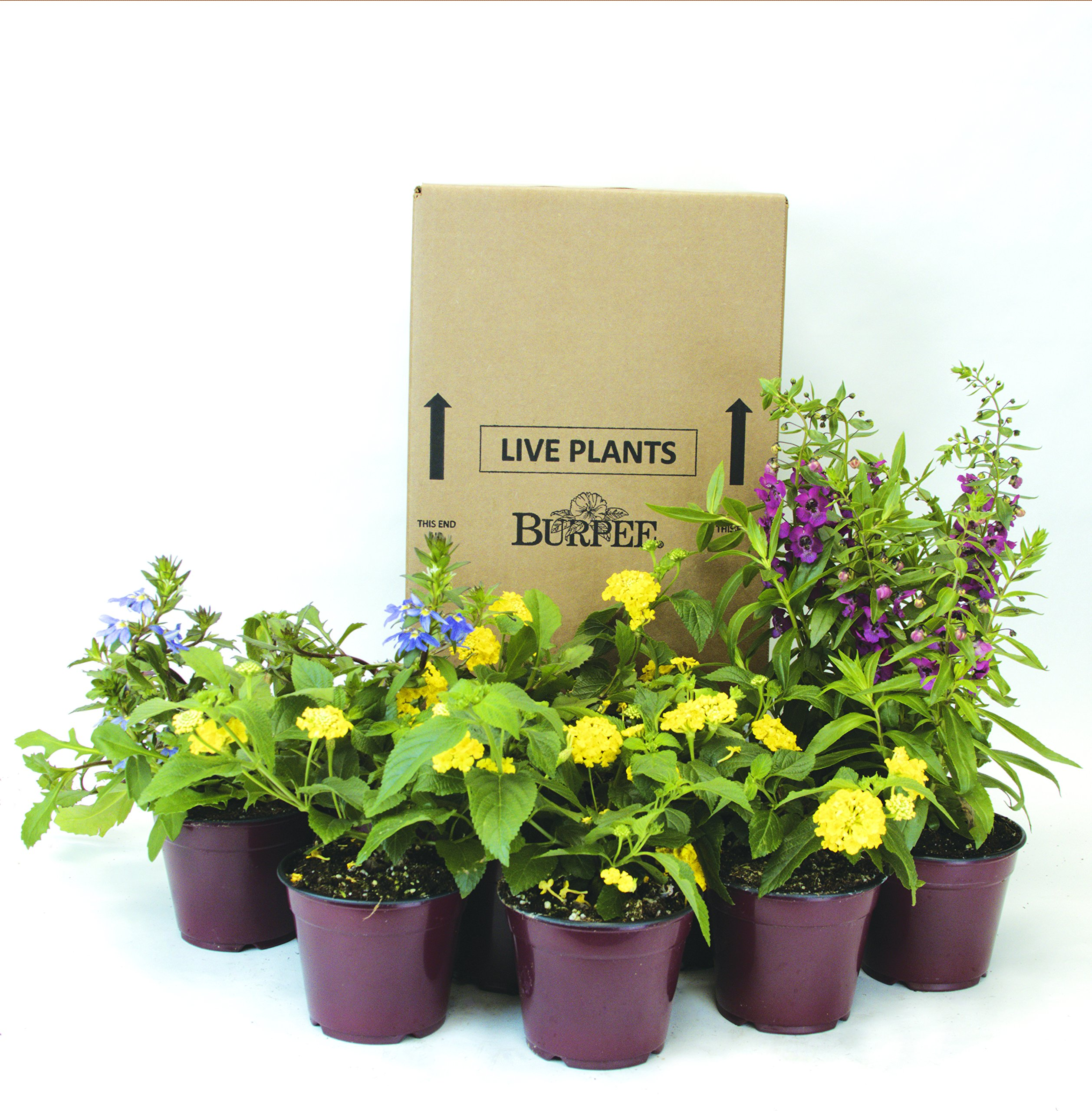 Burpee Combo 'Daydream' - Create Instant Colorful Container Gardens with Twelve 4 in. pots