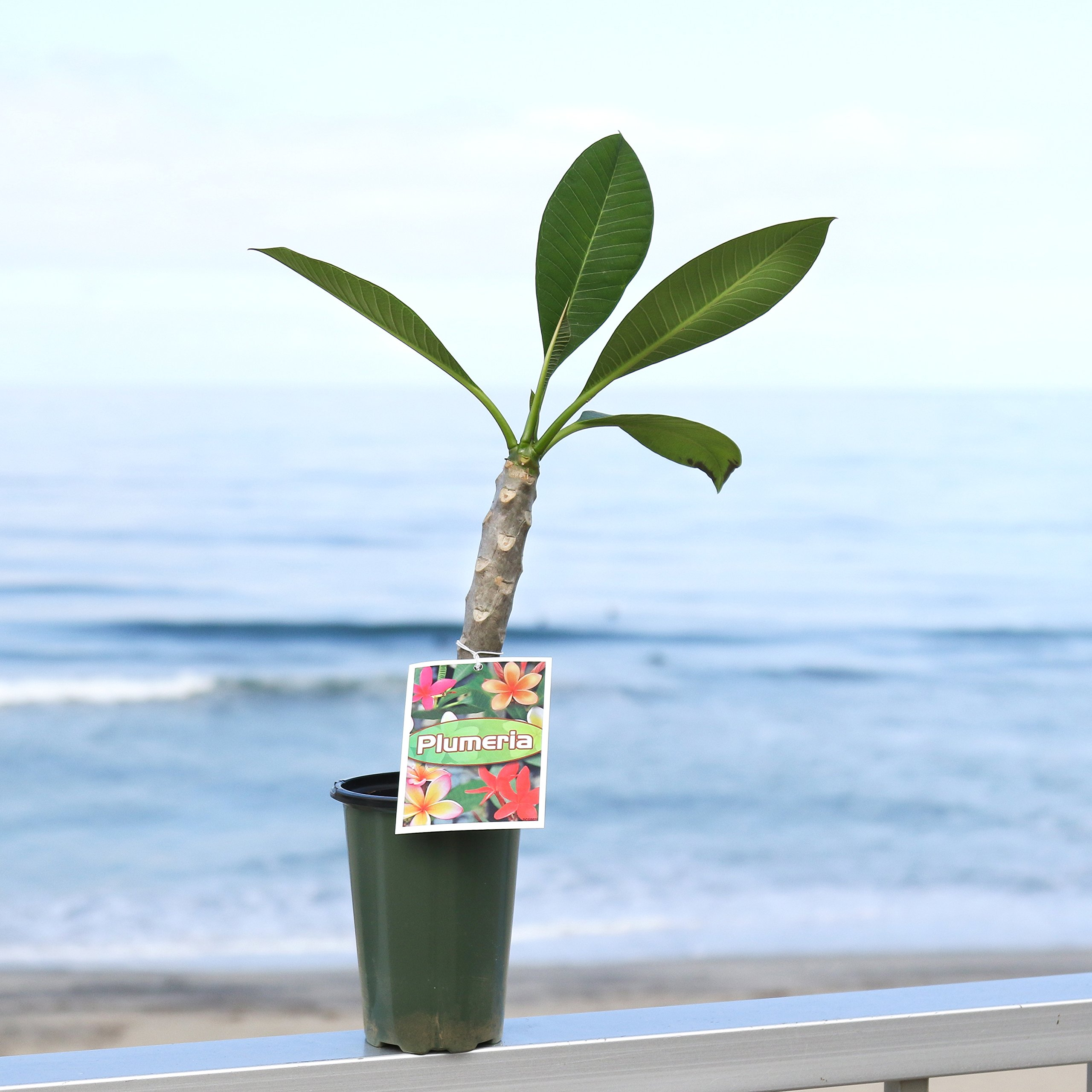 Rainbow Plumeria - Stout 12''-14'' Well-Rooted Plant - Fragrant - Blooms in Summer | Ships from Easy to Grow by Easy to Grow (Image #4)