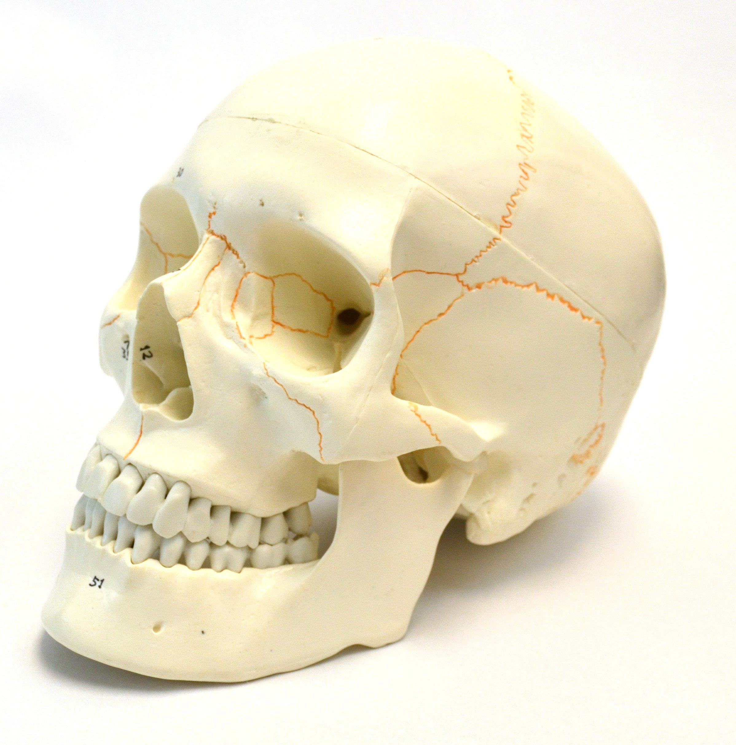 Numbered Human Adult Skull Anatomical Model, Medical Quality, Life Sized (9'' Height) - 3 Part - Removable Skull Cap - Shows Most Major Foramen, Fossa, and Canals - Includes Full Set of Teeth by hBARSCI (Image #2)