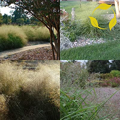 Sand LOVEGRASS Eragrostis Trichodes 100 Seeds : Garden & Outdoor