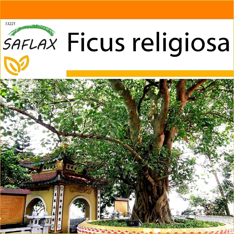 SAFLAX - Garden in the Bag - Higuera sagrada - 100 semillas - Con sustrato de cultivo en un sacchetto rigido fácil de manejar. - Ficus religiosa