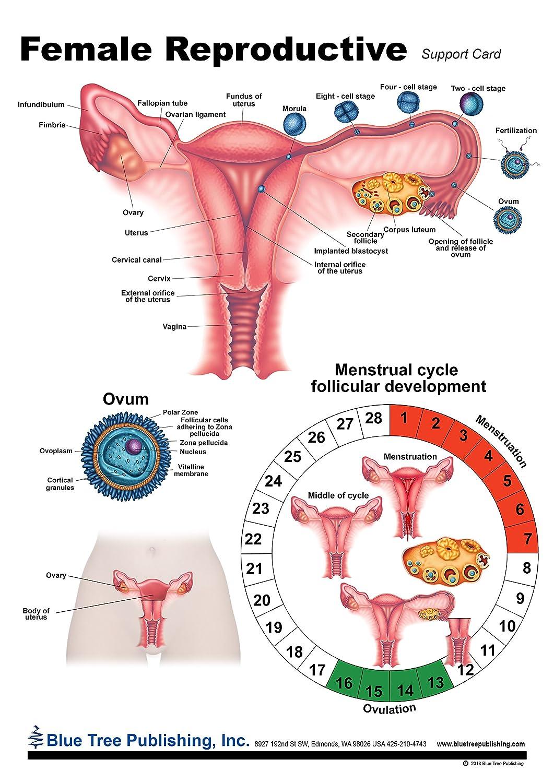 Uterus Model Woman,s Health