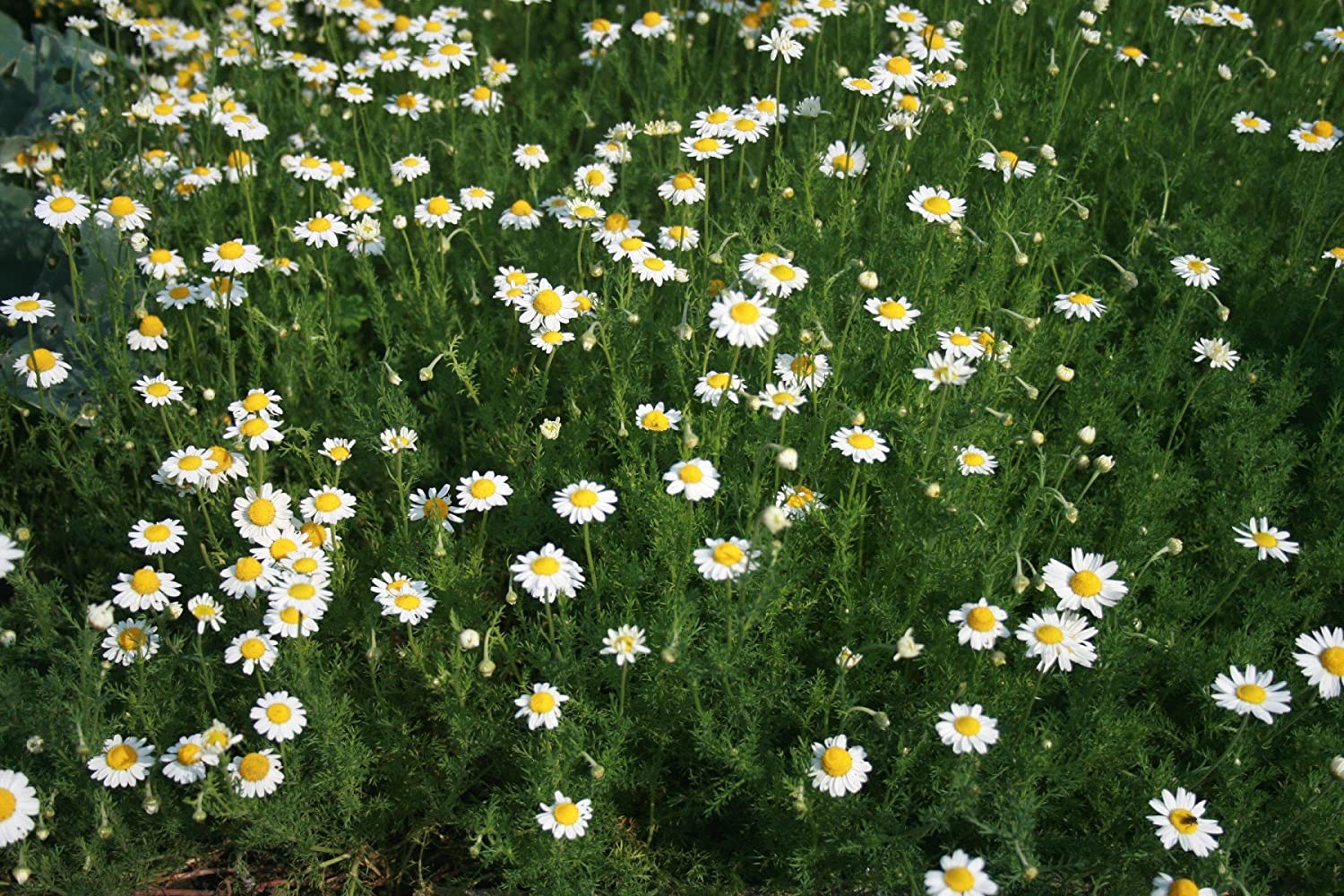 Asklepios-seeds® - 5000 seeds Anthemis nobilis, chamomile, camomile, Roman chamomile, English chamomile, garden chamomile, ground apple, low chamomile, mother's daisy, whig plant mother's daisy