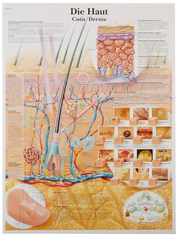 3B Scientific VR0283UU Glossy Paper Die Haut Anatomical Chart (The Skin Anatomical Chart, German), Poster Size 20' Width x 26' Height Poster Size 20 Width x 26 Height
