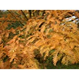 2X DAWN REDWOOD - METASEQUOIA GLYPTOSTROBOIDES PLANTS bronze autumn colours great for bonsai or hedging