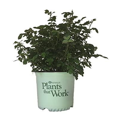 Premier Plant Solutions 21180 Rose Colored Cocktail Flowering Plant, 3 Gallon: Garden & Outdoor