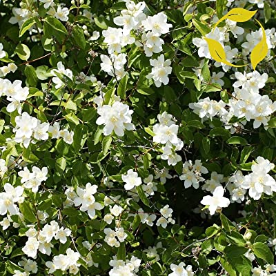 Tricastarts - Wild Mock Orange Philadelphus Lewisii - 60+ Seeds : Garden & Outdoor