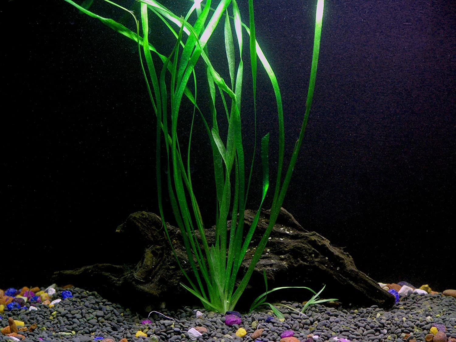 1 Vallisneria Italian Bunch - Beginner Tropical Live Aquarium Plant Aquarium Plants & Pets