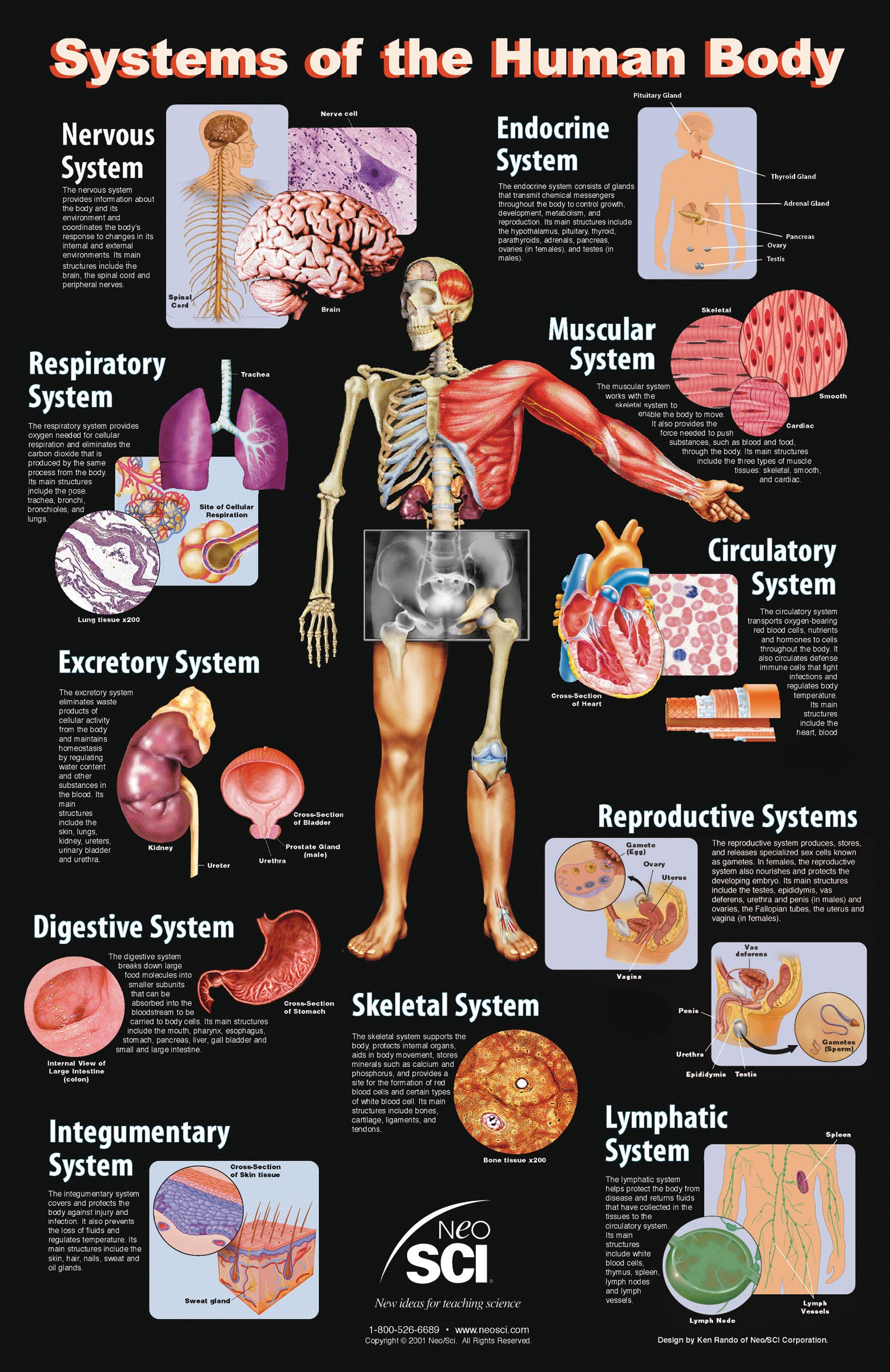 Neo Sci Systems of the Human Body Laminated Poster, 23'' Width x 35'' Height