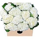 Farm2Door Farm-Fresh Hydrangeas: 15 Fresh White Hydrangeas (Naturally Colored) from Colombia - Farm Direct Wholesale Fresh Flowers