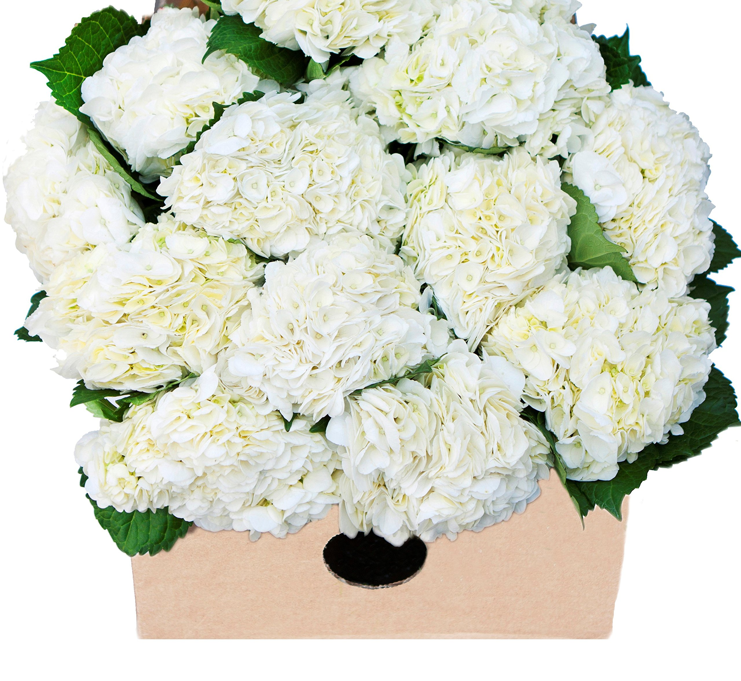 Blooms2Door 15 White Hydrangeas (Farm-Fresh, Naturally Colored, Premium Quality) by Blooms2Door