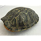 Amazon.com: Estanque Turtle Shell (7 – 8 inches) (Natural ...