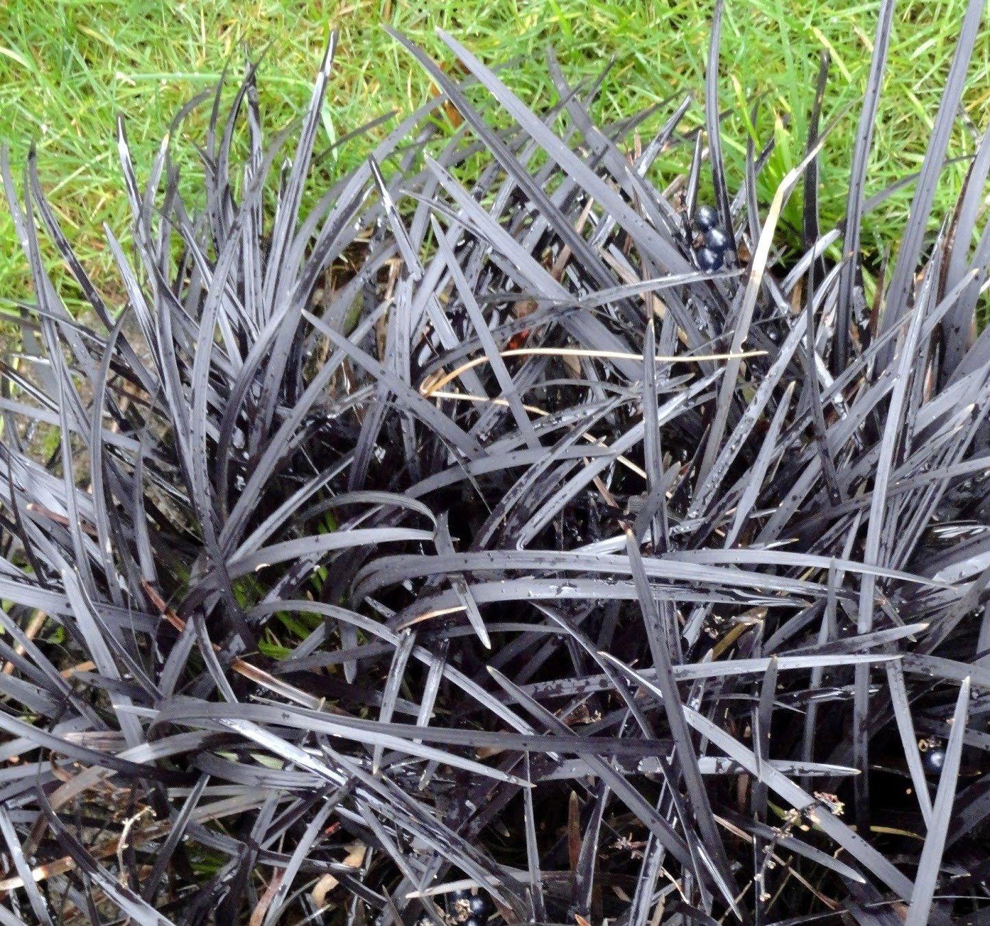 3 x 9cm Potted Plants Ophiopogon planiscapus Nigrescens AGM