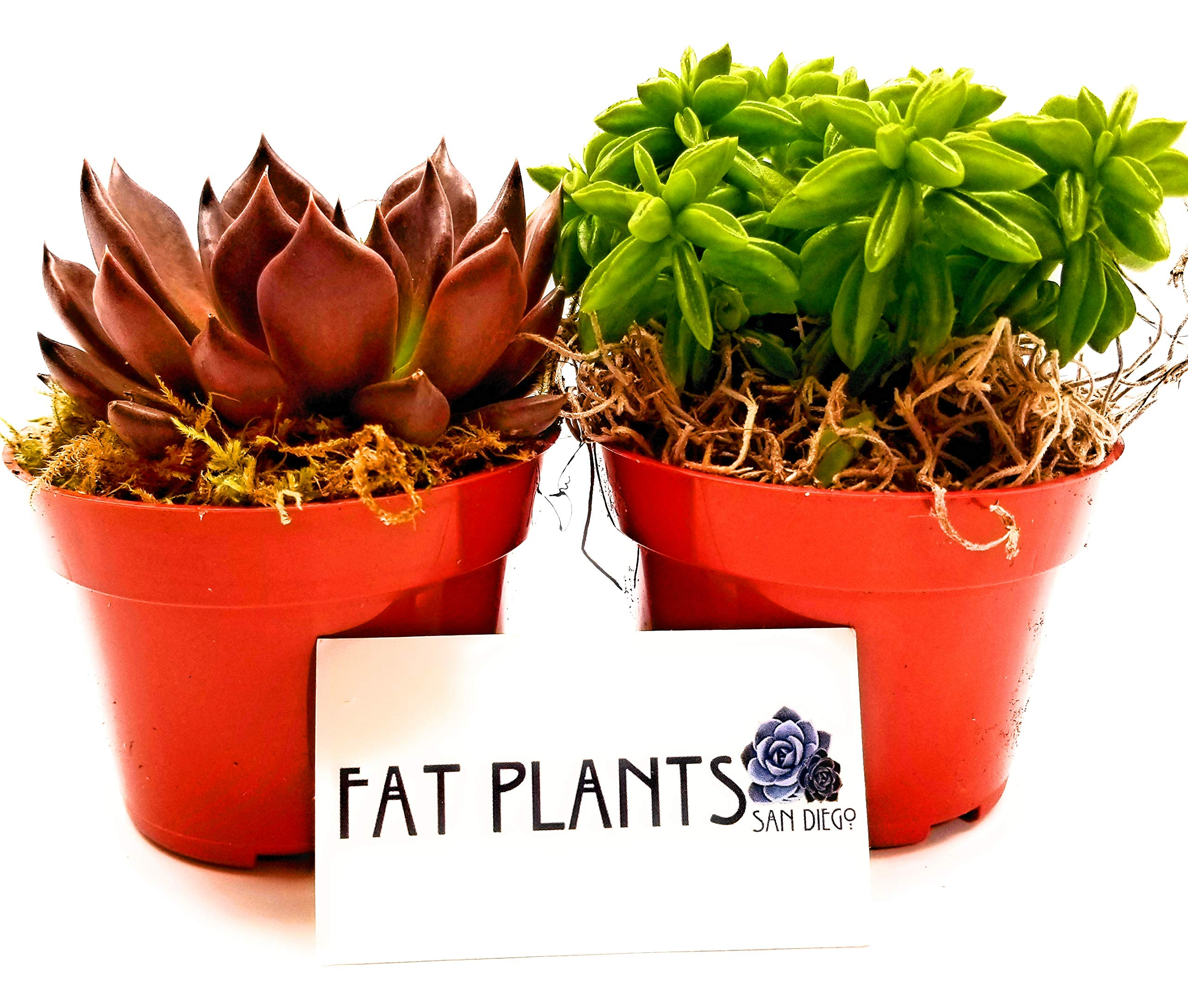 Fat Plants San Diego Live Succulent Plant Variety Collection by Fat Plants San Diego (Image #1)