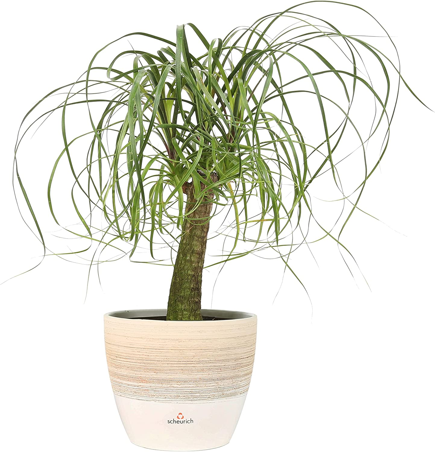 Amazon Com Costa Farms Ponytail Palm Bonsai Live Indoor Plant 15 To 20 Inches Tall Ships In Scheurich Ceramic Planter Fresh From Our Farm Excellent Gift Or Home Decor Garden Outdoor