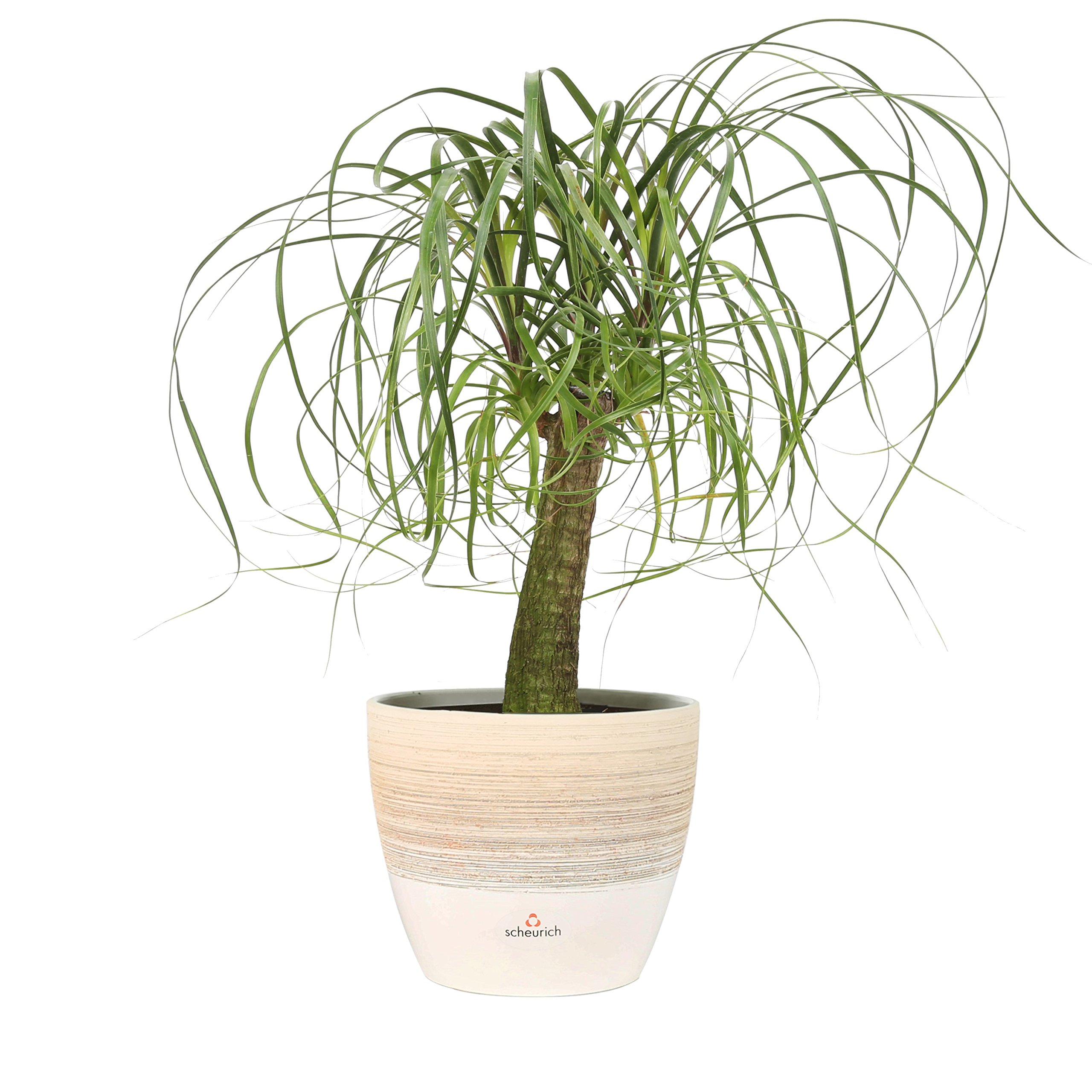 Costa Farms, Premium Live Indoor Ponytail Palm, Beaucarnea recurvata, Tabletop Plant, Vanilla Cream Scheurich Ceramic Decorator Pot, Shipped Fresh from Our Farm, Excellent Gift
