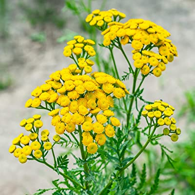 Outsidepride Tansy Herb - 10000 Seeds: Garden & Outdoor