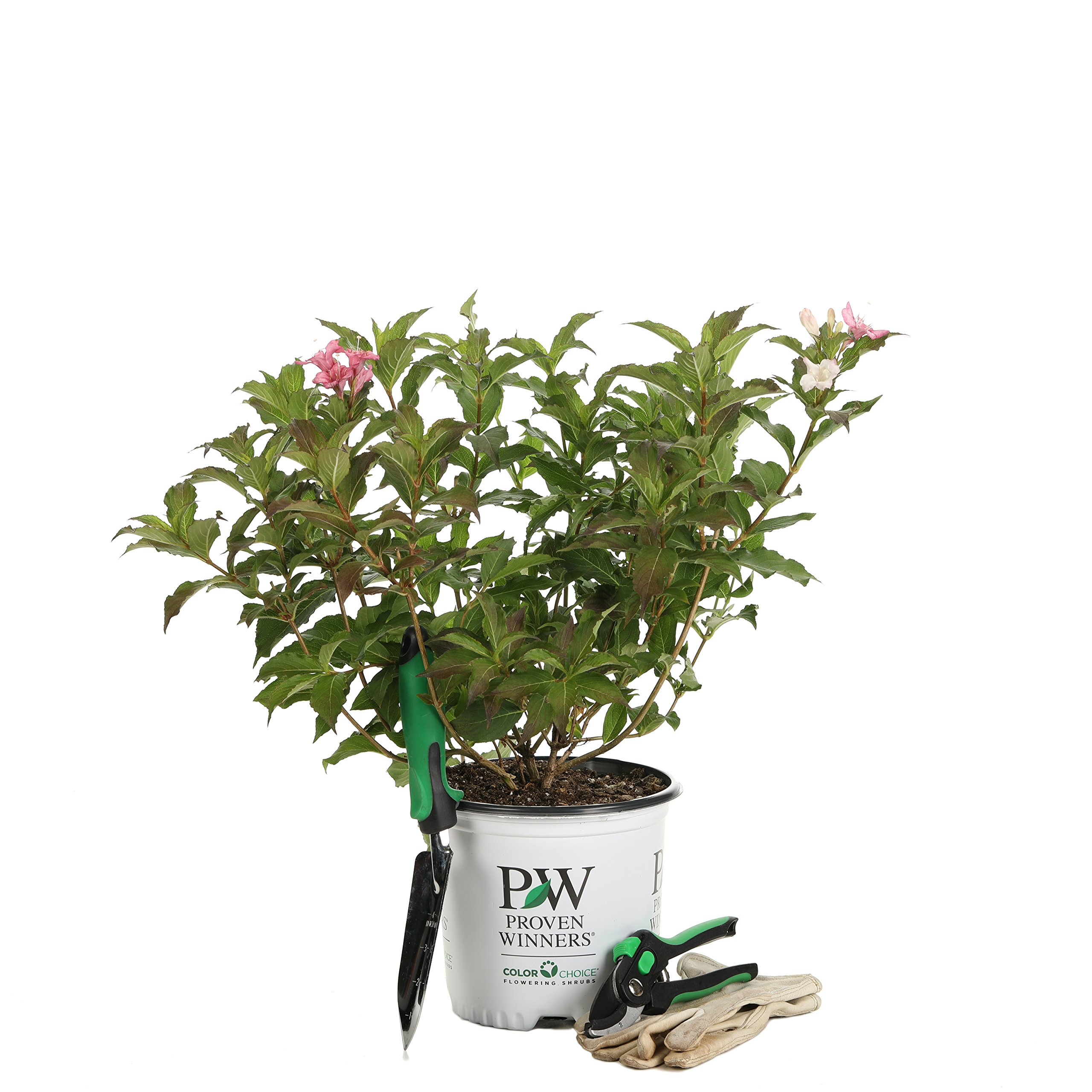 Czechmark Trilogy (Weigela) Live Shrub, White, Pink, and Red Flowers, 1 Gallon by Proven Winners (Image #8)
