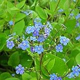 Blumixx Stauden Brunnera macrophylla - Kaukasus-Vergißmeinnicht, im 0,5 Liter Topf, blau blühend