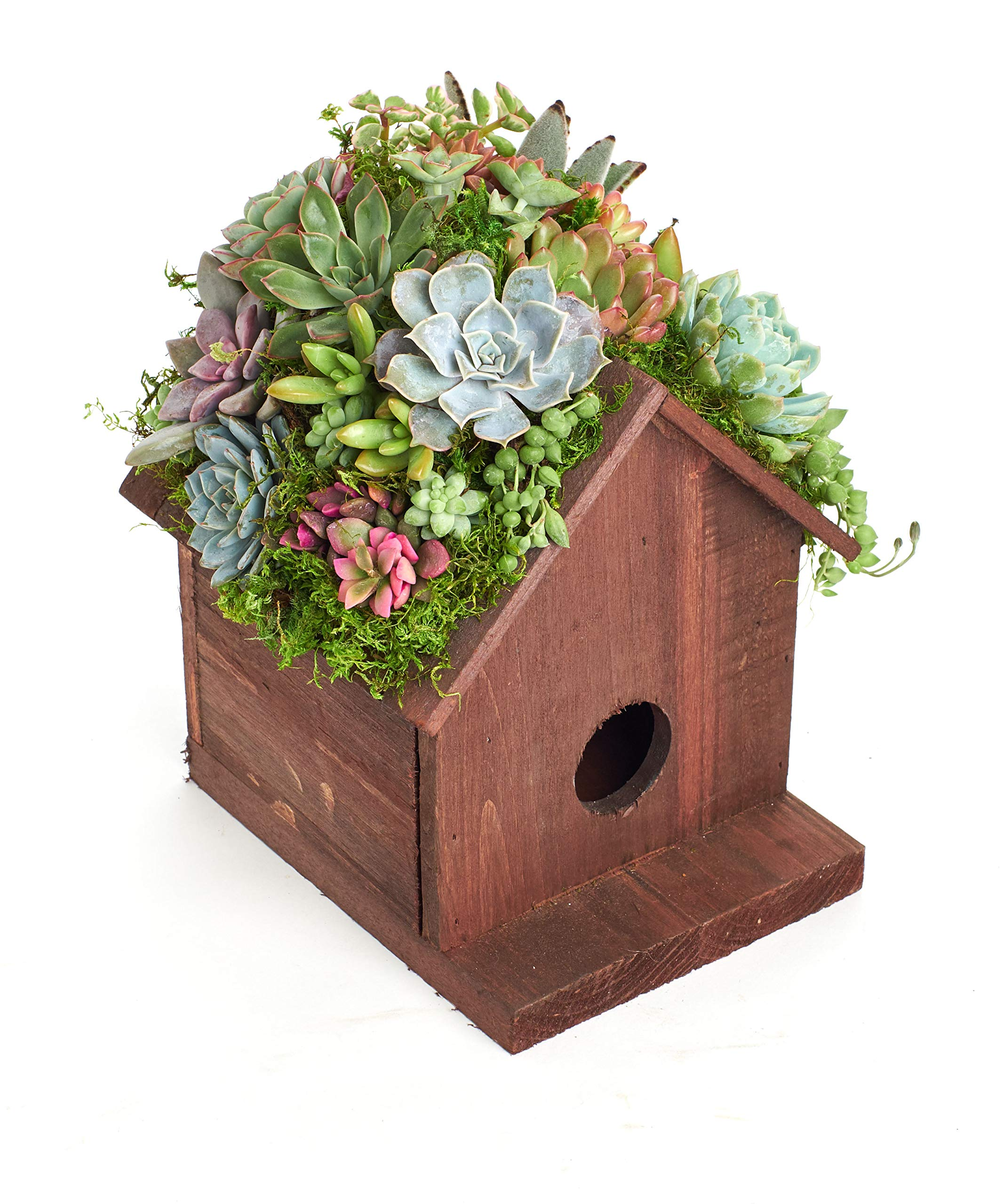Shop Succulents BIRDHS-20-SUC-KIT Living Succulent Kit Birdhouse Planter by Shop Succulents (Image #4)