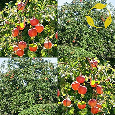 Verazui Fiji Apple Malus Pumila - 20+ Seeds, Ready to Ship : Garden & Outdoor