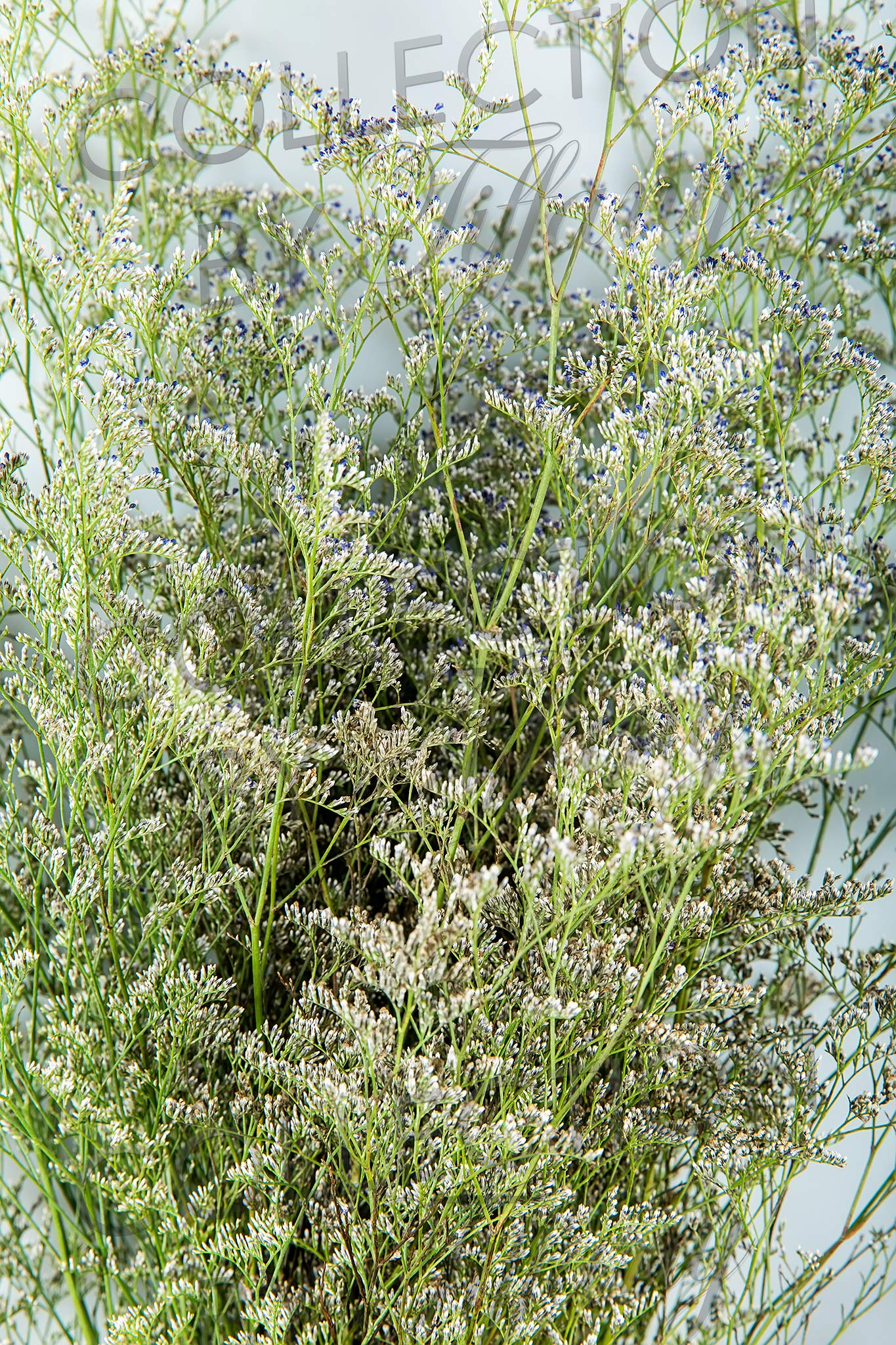 Fresh Limonium for Garland, Floral Arrangement, Birthday, Anniversary & Funeral Long Lasting, Decoration for Wedding, Event, Everyday, Occasion Gift.
