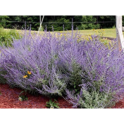 10 Russian Sage Seeds, butterflies, hummingbird, hardy, heat loving, Perennial : Garden & Outdoor