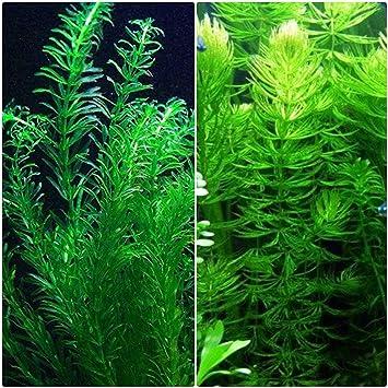 amazon com anacharis and hornwort bundle for ponds and aquariums