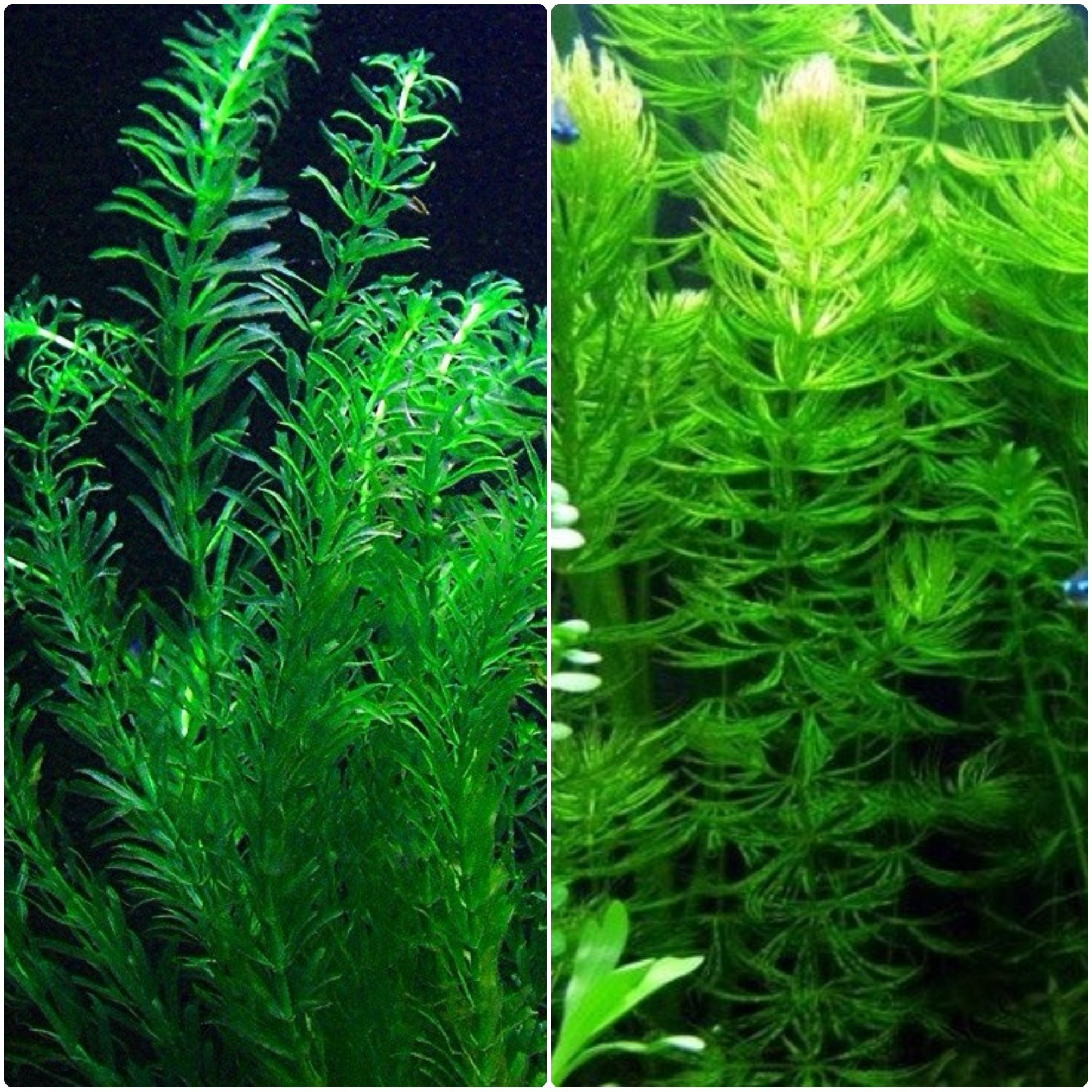 Anacharis and Hornwort Bundle for Ponds and Aquariums