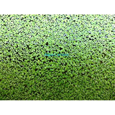 200+ Live Duckweed (Lemna Minor) - No Snails - Live Floating Plant by Aqua L'amour : Garden & Outdoor