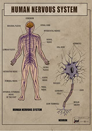 Human Nervous System Anatomy and function biology Poster Canvas Art ...