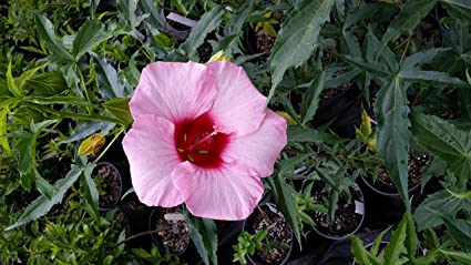 Amazoncom Lady Baltimore Hibiscus Shrub Linerstarter Huge