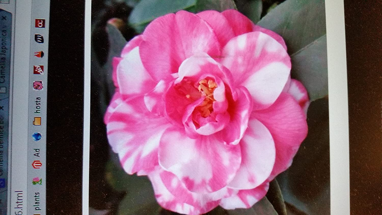 Amazon Winter Blooming Camellia Bart Colbert Deep Pink