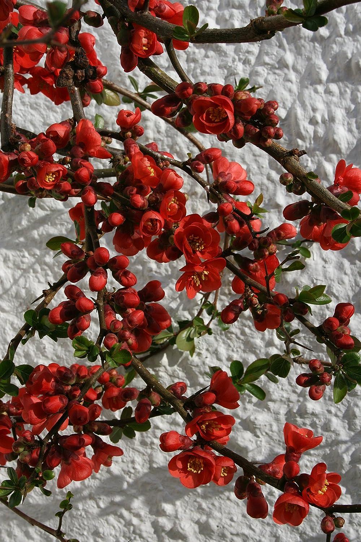 Chaenomeles × superba /'Knap Hill Scarlet/' 9cm pot Please Read Description
