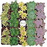 Shop Succulents Premium Pastel Succulent (Collection of 32)