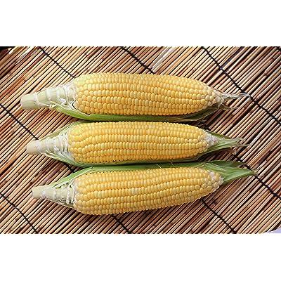 Sugar Buns Hybrid Corn Seeds : Corn Plants : Garden & Outdoor