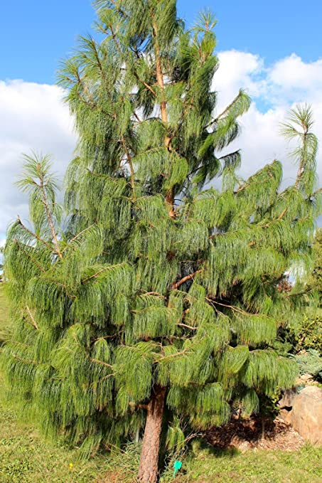 Amazoncom 30 Pinus Patula Seeds Mexican Weeping Pine Mexican