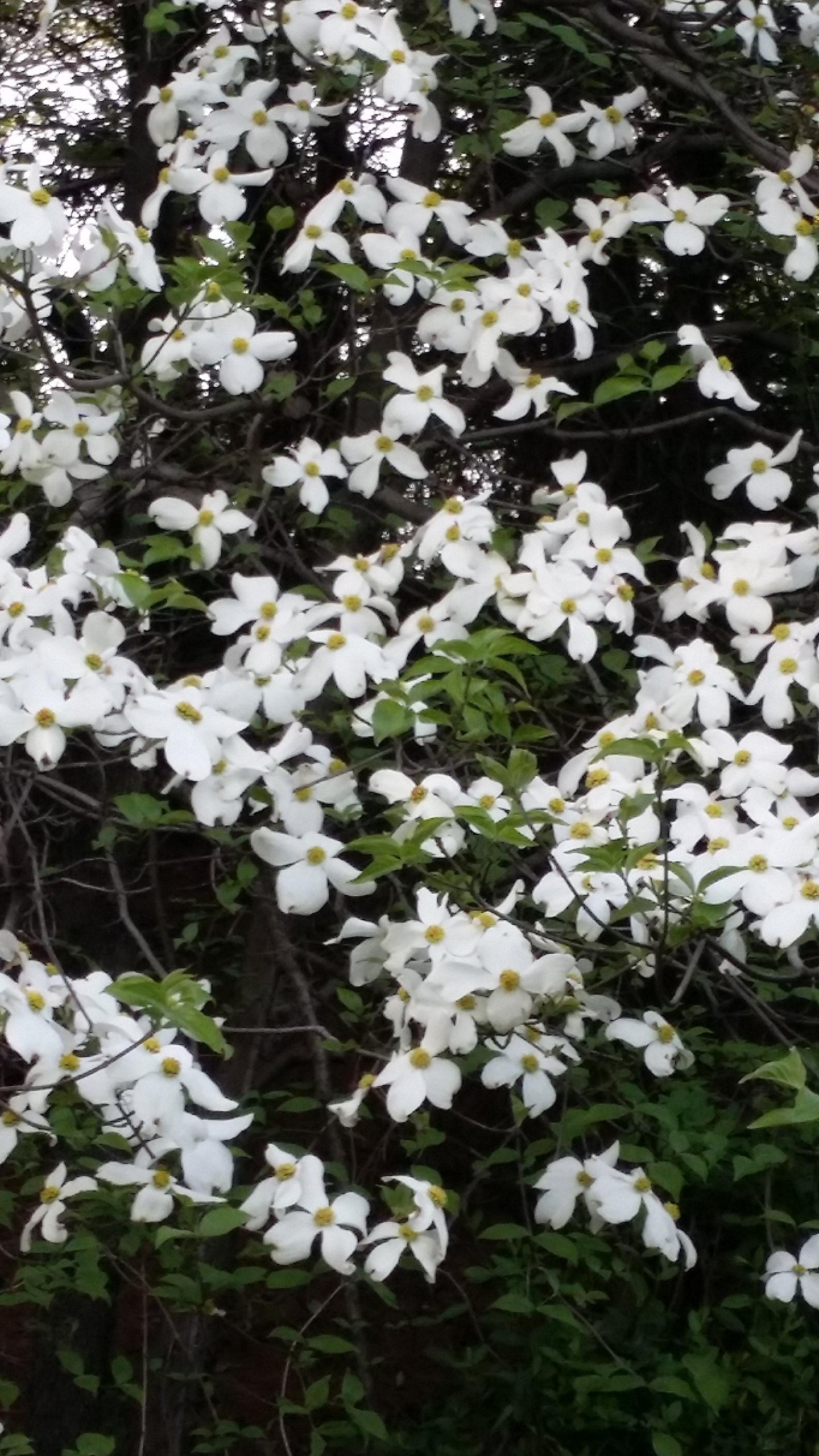 (1 gallon bare-root) Dogwood CELESTIAL SHADOW(hybrid)Tree, Variegated Dogwood with white flowers, Green leaves with white margins, turning pink, highly resistant to anthracnose